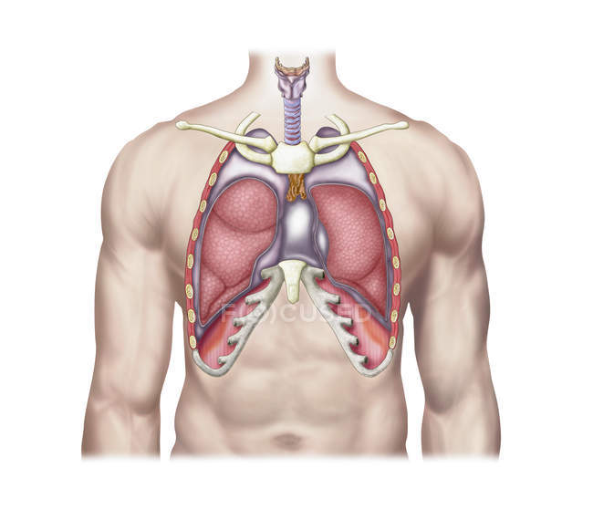 Medical Illustration Of Human Lungs In Body Stock Photo 174715934