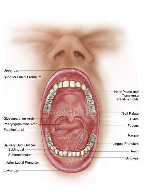 Anatomy of human mouth cavity with labels — Stock Photo | #174715948