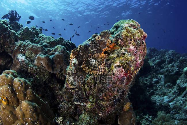 Cabracho grande arrecife de coral - foto de stock