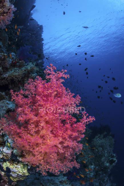Weichkorallen klammern sich an Hai-Riff — Stockfoto
