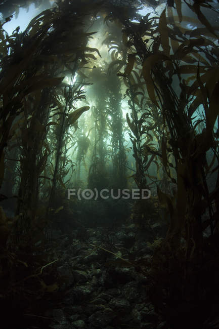 Giant kelp forest — Stock Photo