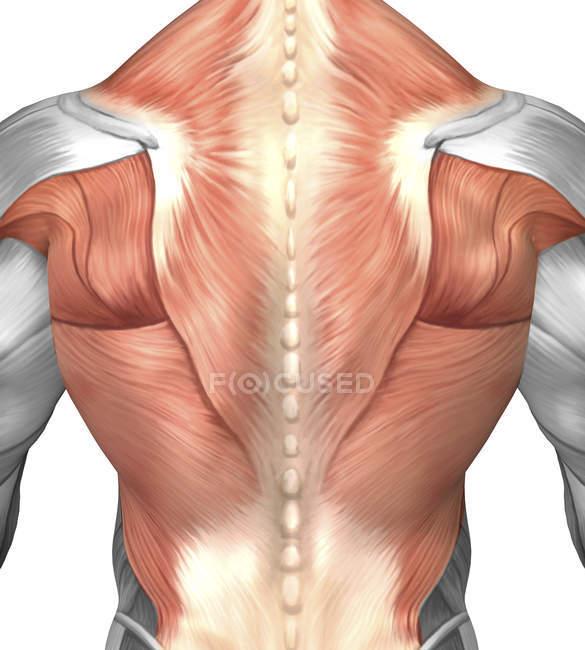 Anatomía muscular masculina de la espalda humana - foto de stock