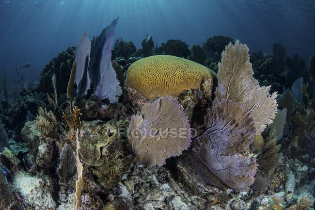 Gorgones avec coraux de construction de récifs sur le récif — Photo de stock