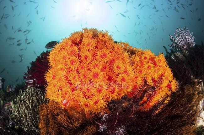 Coraux tasse orange vif croissant sur le récif — Photo de stock