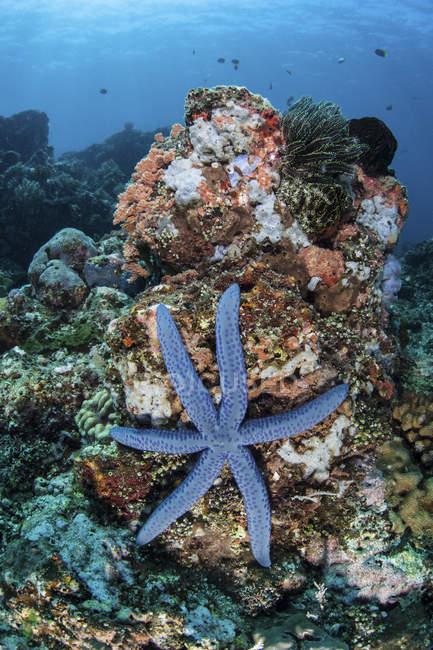 Étoile de mer accrochée au récif — Photo de stock