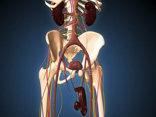 Medical illustration of male skeleton with ureter system — Stock Photo