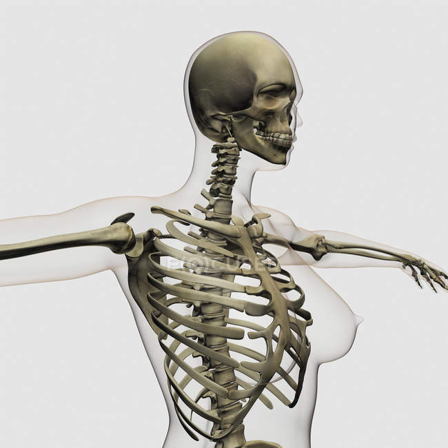 Three dimensional view of female rib cage and skeletal system — Stock Photo