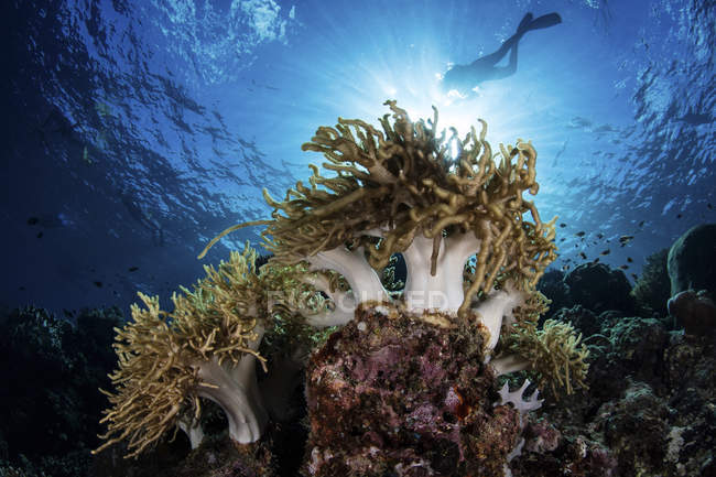 Buceador de natación sobre el arrecife de coral - foto de stock