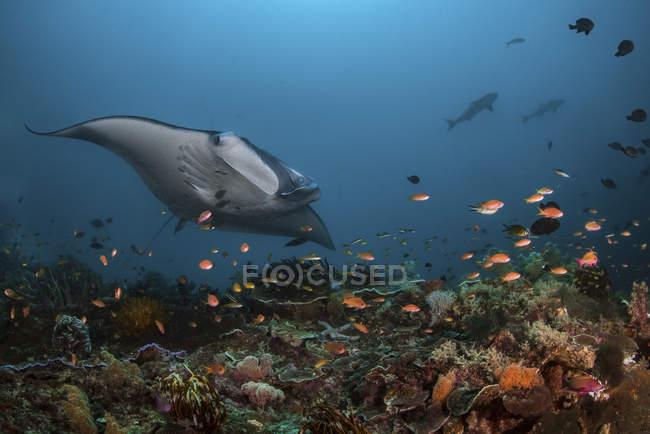 Rayo oceánico gigante manta - foto de stock