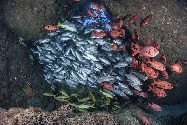 Escolaridade de peixes em caverna perto de Cocos Island, Costa Rica — Fotografia de Stock