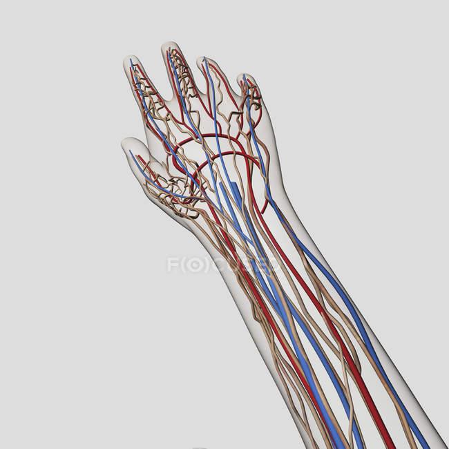 Ilustración médica de arterias, venas y sistema linfático en manos y brazos humanos - foto de stock