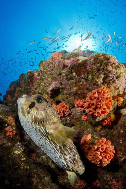 Pez globo cerca del arrecife de coral - foto de stock