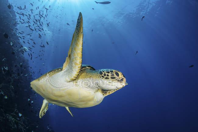 Зеленая черепаха по рифу — стоковое фото