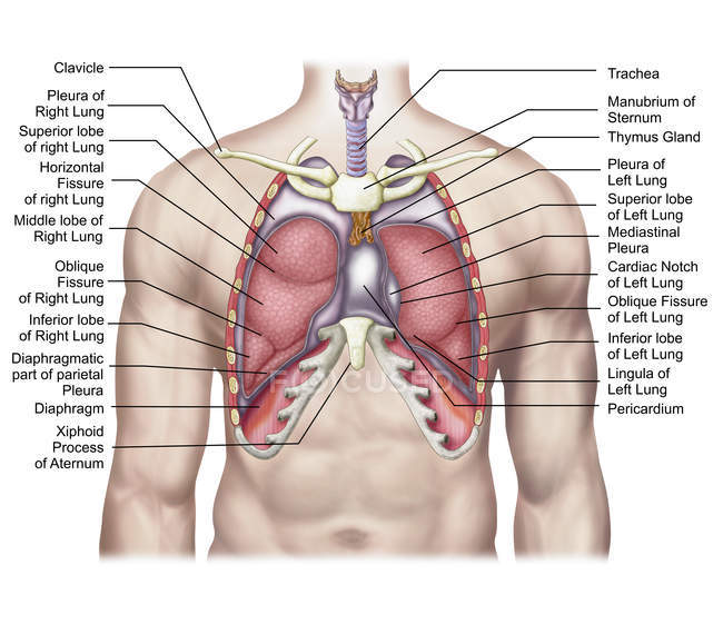 Medical Illustration Of Human Lungs Anatomy With Labels Computer