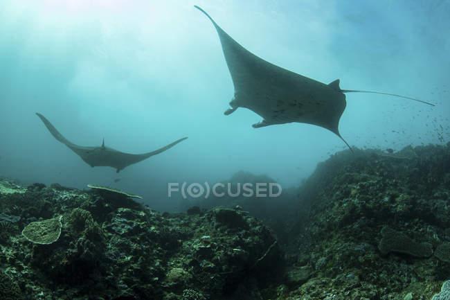 Manta che nuota sul fondo del mare — Foto stock
