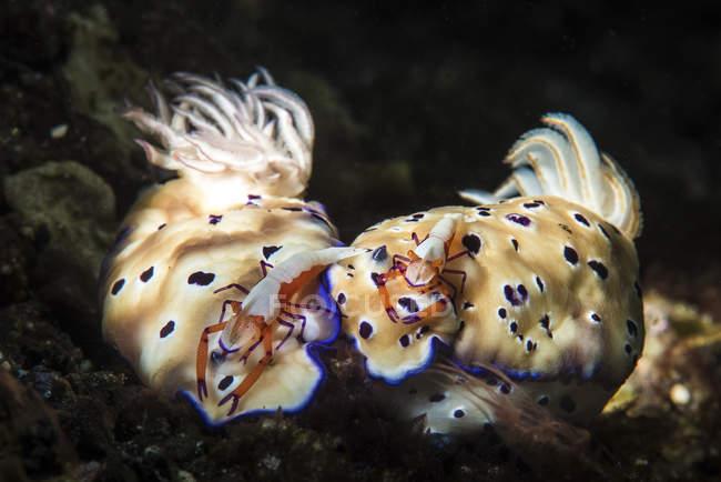 Nudibranches avec des crevettes empereur sur le dos — Photo de stock
