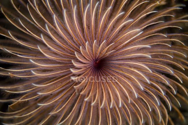 Спиральные щупальца перьевого червя — стоковое фото