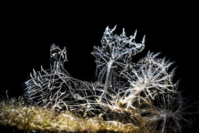 Melibe colemani nudibranche — Photo de stock