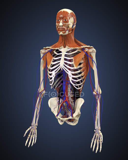 Human Upper Body With Bones Muscles And Circulatory System Stock