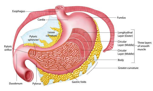 Medical illustration of human stomach anatomy — Stock Photo | #174716494