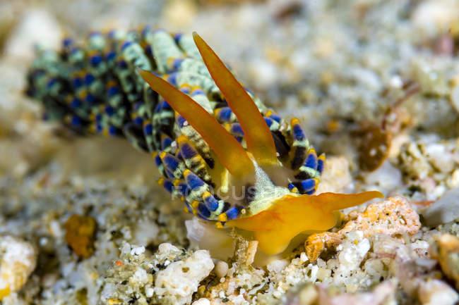 Cuthona nudibranch sur le fond marin — Photo de stock