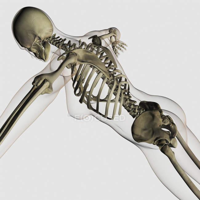 Vista tridimensionale della spina dorsale femmina e sistema scheletrico — Foto stock