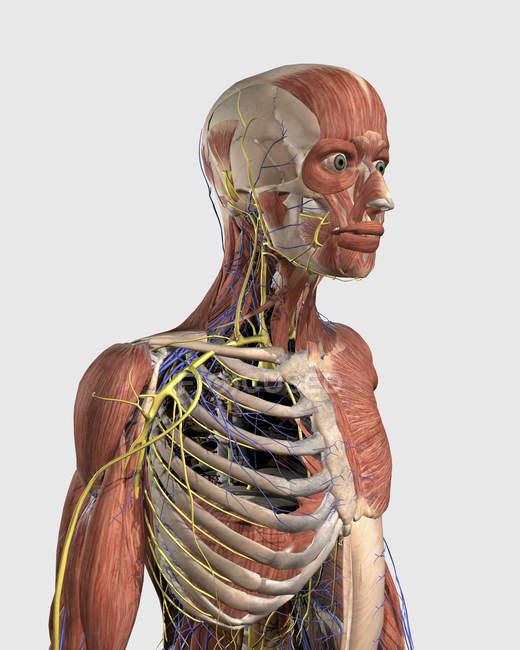 Ilustração médica de partes musculares, esqueleto axial, veias e nervos — Fotografia de Stock