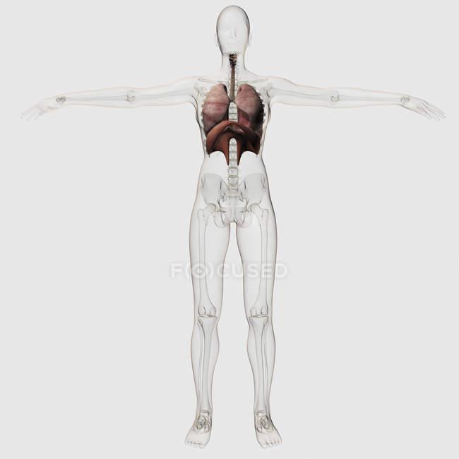 Трехмерный вид женской дыхательной системы — стоковое фото