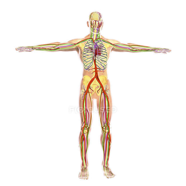 Medical illustration of human circulatory system — Stock Photo