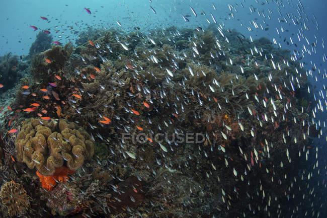 Arrecife de coral con peces cerca de Alor - foto de stock