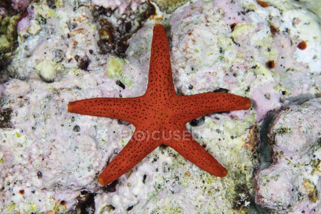 Étoile de mer rouge accrochée aux algues corallines — Photo de stock