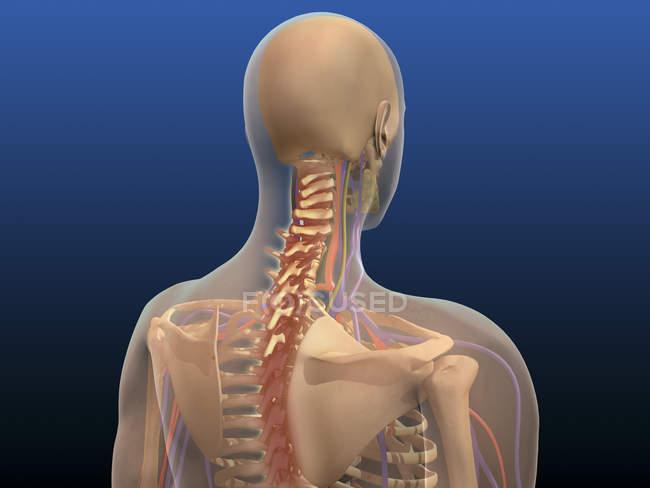 Vista trasera del cuerpo humano que muestra la médula espinal y la escápula - foto de stock
