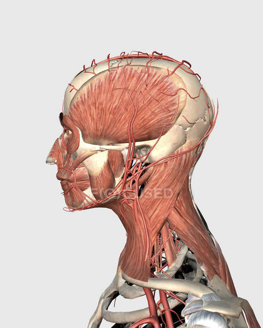 Medical illustration of human head and neck muscles with veins ...