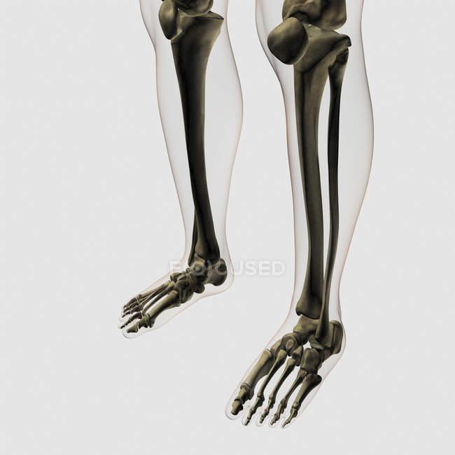 Trois dimensions vue d'ossements humains, jambes et pieds — Photo de stock