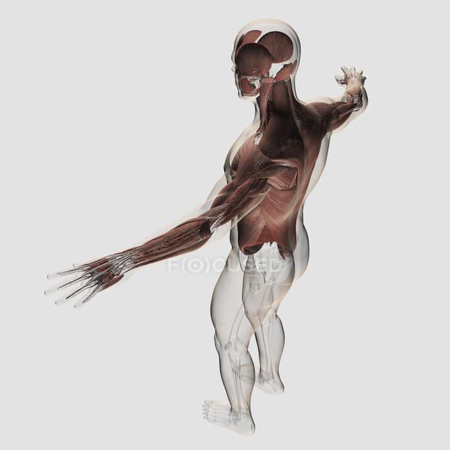 Anatomia dos músculos masculinos na parte superior do corpo — Fotografia de Stock