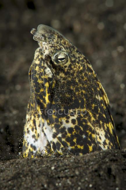 Мармуровий змія вугор з'являються з піску — стокове фото