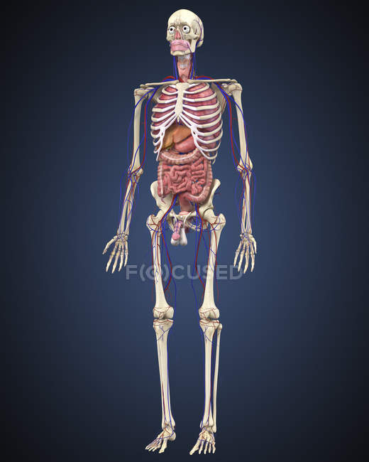 Human skeleton with organs and circulatory system — Stock Photo