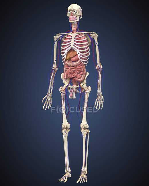 Menschliches Skelett mit Organen und Kreislauf — Stockfoto