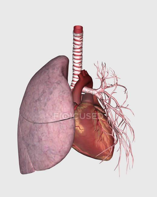 Circulação pulmonar do coração e pulmão humanos — Fotografia de Stock