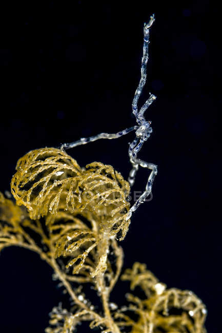 Sea spider closeup shot — Stock Photo