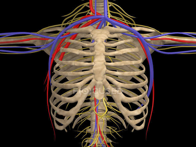 Medical illustration of rib cage with nerves, arteries and veins — Stock Photo