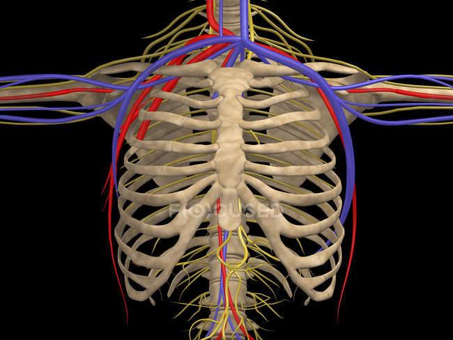 Medizinische Illustration des Brustkorbs mit Nerven, Arterien und Venen — Stockfoto