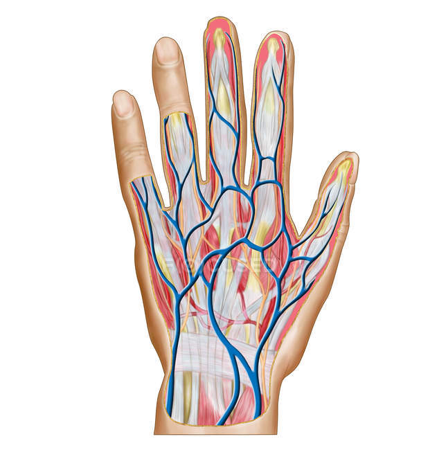 Anatomy of human hand back side — Stock Photo | #174716816