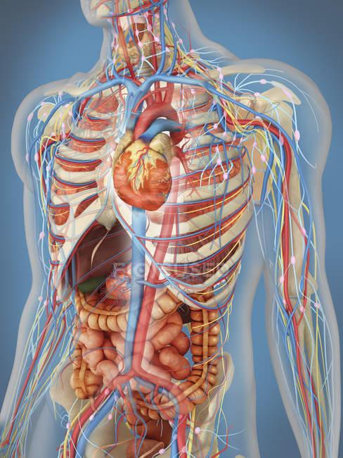 Прозрачный человеческого тела, сердца и основной системы кровообращения с внутренних органов, нервной, лимфатической и сосудистой системы — стоковое фото
