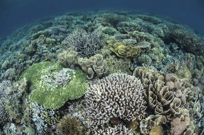 Aufbau von Riff-Korallen im seichten Wasser — Stockfoto