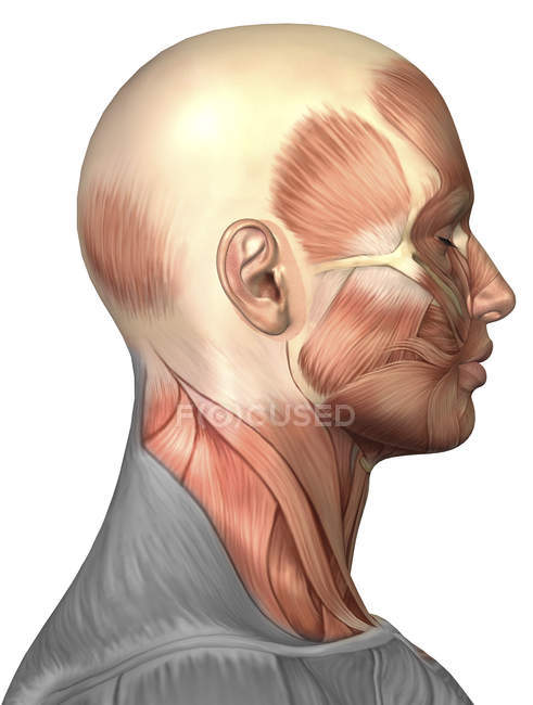 Anatomy Of Human Face Muscles Stock Photo 174716890
