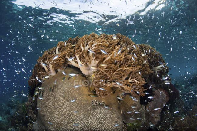 Peces nadando sobre arrecifes de coral sanos - foto de stock