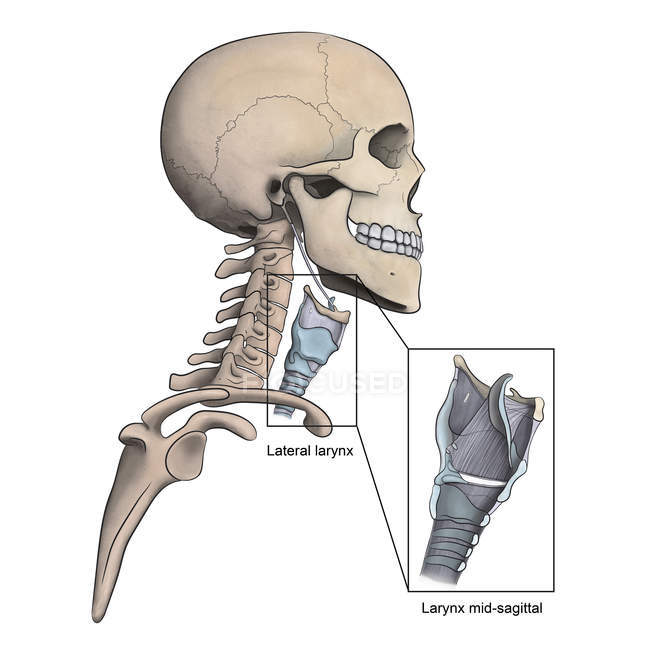 Lateral larynx and skeletal anatomy with mid-sagittal larynx view — Stock Photo