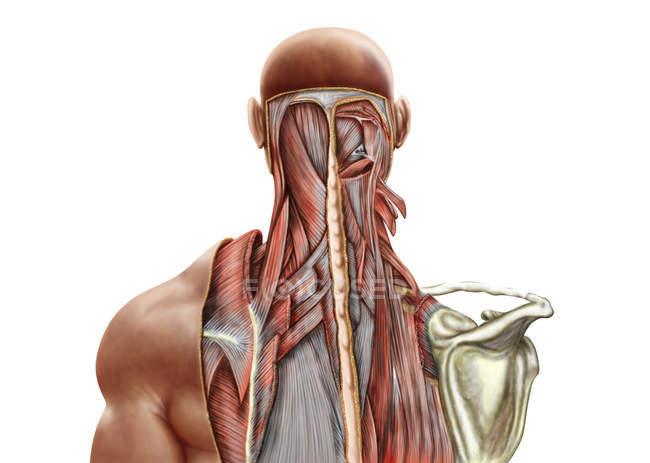 Anatomía humana de los músculos profundos en el cuello y la espalda superior - foto de stock
