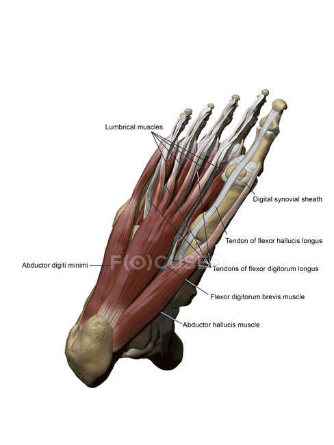 Foot with plantar superficial muscles and bone structures — Stock ...